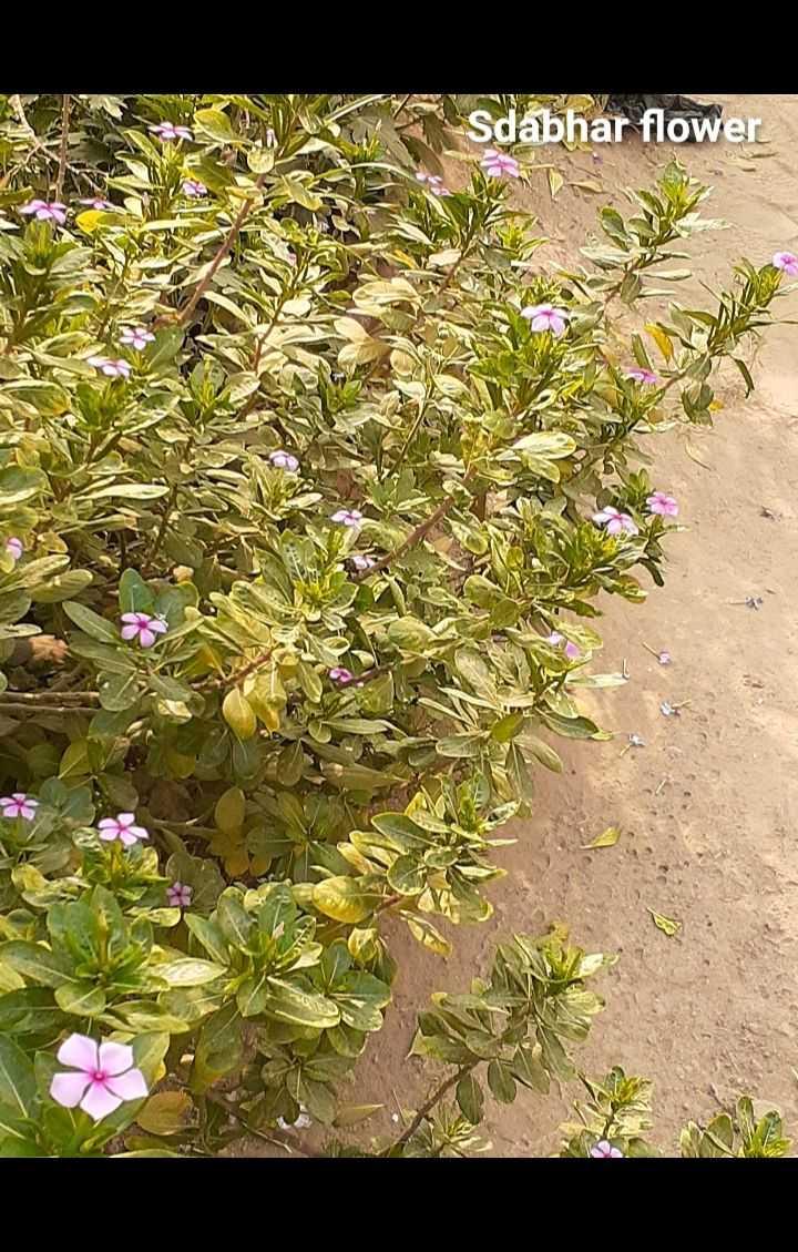 🌳पेड़-पौधे वीडियो - Sdabhar flower - ShareChat