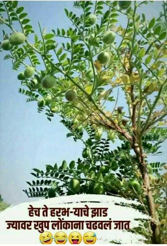 🙏प्रेरणादायक / सुविचार - हेच ते हरभ - याचे झाड ज्यावर खुपलोंकाना चढवलं जात . - ShareChat