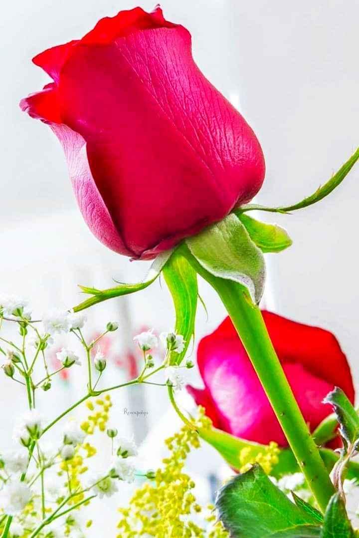 💐 ફૂલની ફોટોગ્રાફી - Repolje - ShareChat
