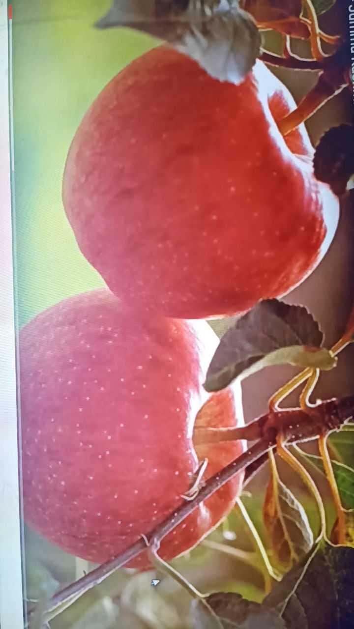 🍎 સફરજન દિવસ - nunc . - ShareChat