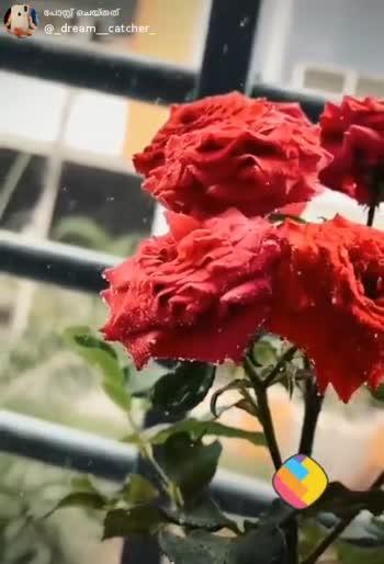 🌹 7 Feb - Rose Day - ShareChat