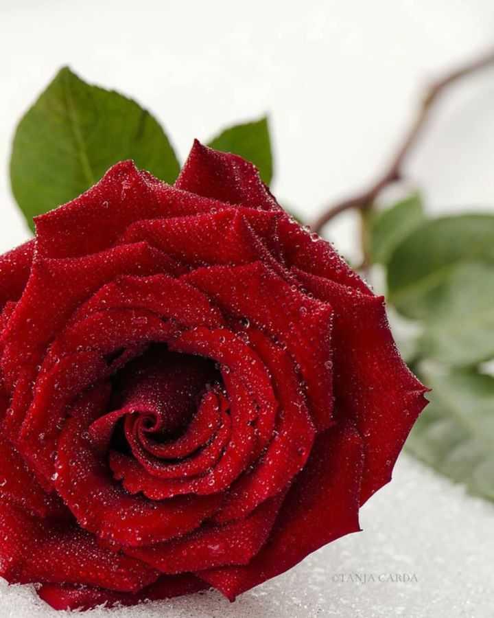 🌹 flower photography - OTANA CARDA - ShareChat
