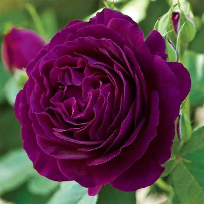 🌹 rose - ShareChat