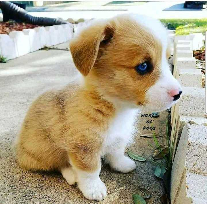 sweet  puppy - WOR DOGS - ShareChat